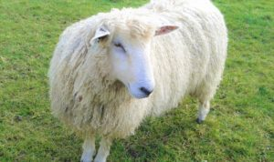 The native sheep breed Cotswold Lion