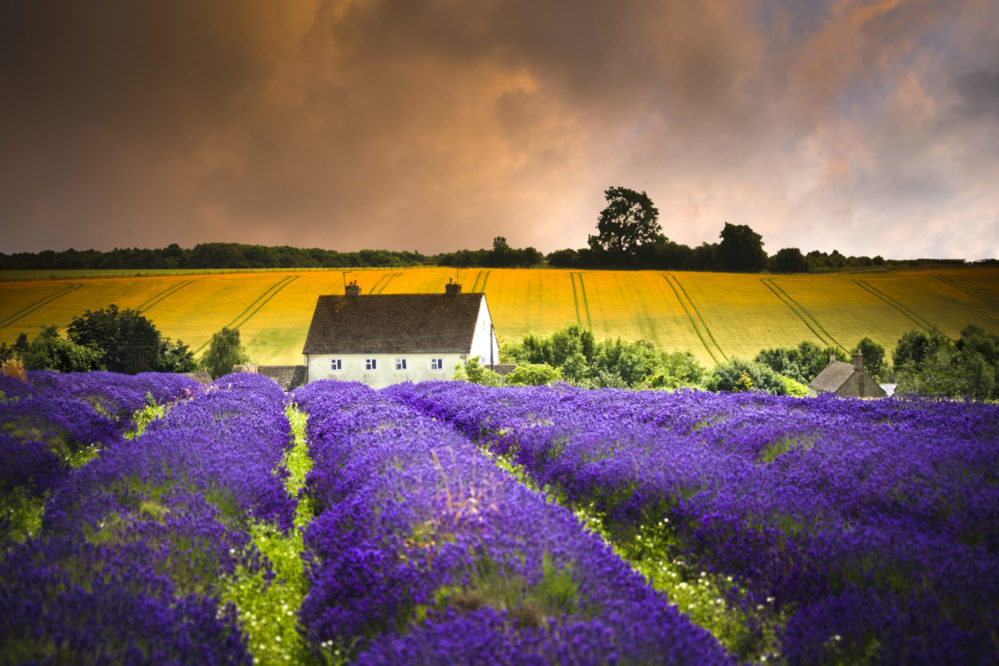 Cotswold Lavender fields